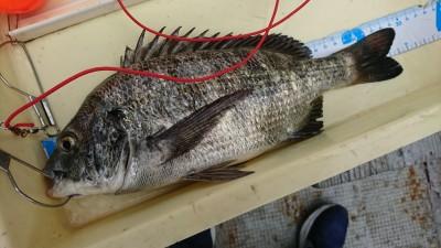 <p>宮田様 沖の北 エビ撒き釣りてわチヌ!餌とり多すぎて釣りにくかったそうです。</p>