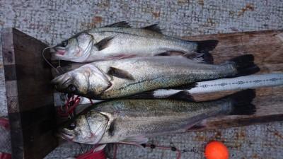 <p>ハネ研 山本様 沖の南 エビ撒き ハネ~56cmまで3尾GET</p> <p>ハネも釣れてますね!おめでとうございます(^O^)</p>