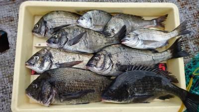 <p>内田様 旧一文字2番 紀州釣り チヌ~43cmまで多数GET</p> <p>紀州釣りも良く釣れてますね(^O^)おめでとうございます</p>