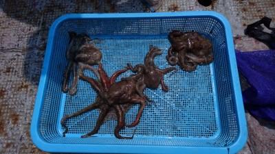<p>おくちゃん様 沖の北 タコジグ タコGET</p> <p>タコ良く釣れてますね(^O^)おめでとうございます</p>