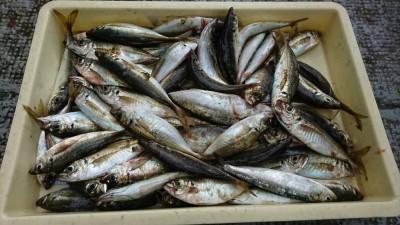 <p>北野様 旧一文字赤灯内向き サビキ釣りで中アジ大漁!1番船から7時までの釣果です。今朝はかなりアジがいたようですね。浅い棚でも釣れたりしたそうです。</p>