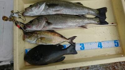 <p>中島様 旧一文字白灯 エビ撒き釣りでハネ、シオ、グレ!いろいろ釣れておもしろいですね。グレは28㎝ありましたよ♪沖にもいると思うんですが餌とりが多いので狙って釣るのは難しいかも。</p>