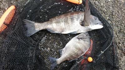 <p>逸見様 旧一文字赤灯舟着近くの内向き ふかせ釣りでチヌ!7~11時での釣果です。</p>
