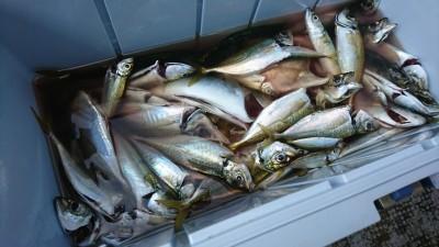 <p>沖の北舟着近く 足元サビキで中アジ大漁!今日は普段より時合いが長かったようです。</p>