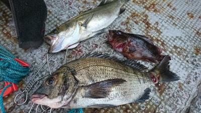 <p>前田様 旧一文字白灯 エビ撒き釣りでハネとチヌ!内向きは中アジだらけ、沖向きはセイゴだらけで釣りにくかったそうです。</p>
