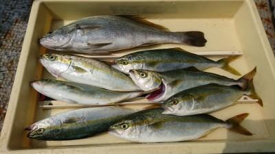 <p>沖の北 ルアーでツバス!1番上の魚はニベ科のシログチ(イシモチ)と思われます。調べたんですがたぶん合ってるかと…。年によってはタチウオシーズンにちょくちょく見かける魚です。</p>
