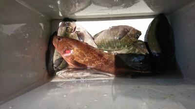 <p>旧一文字白灯外向き エビ撒き釣りでアコウと木っ端グレ!先日チヌ・アコウの稚魚を放流しましたので釣れたらリリースしてくださいね♪</p>