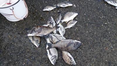 <p>8/31安土様グループ 旧一文字赤灯 紀州釣り チヌ多数GET</p> <p>昨日の釣果ですが、紀州釣り良く釣れてますね(^O^)おめでとうございます</p>