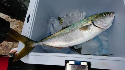 <p>沖の北 のませ釣りでツバス!今日もツバス釣れてます♪サゴシも釣れてましたよ。</p>
