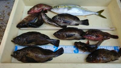 <p>川原様 旧一文字赤灯外向き エビ撒き釣りで良型メバルとガシラ!今日はアコウはなかったみたいですがその代わりにメバル♪なかなかのサイズです。煮付けですね♪</p>