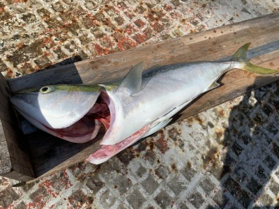<p>沖の北リアルタイム メジロ78cm のませ釣りでの釣果です。血抜き、内蔵処理後に計測したので釣りたては80cm(ブリサイズ)あったと思われます♪</p>