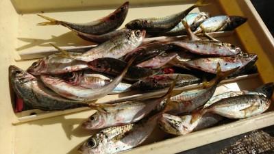 <p>徳山様 旧一文字白灯内向き エビ撒き釣りで中アジ大漁!釣れすぎて途中でやめたそうです。白灯で中アジずっと釣れてますね。大きいのは24㎝くらい、よく肥えて美味しそう♪</p>