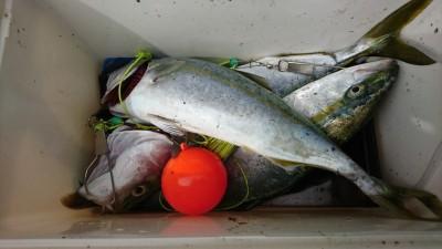 <p>沖の北 のませ釣りでツバス~ハマチ3匹!豆アジ確保に苦労されたそうです。ウルメイワシはいくらでも釣れるんですが弱りやすいのであまり使えないんですよね…。釣れない時は場所をいろいろ変えてみてください。</p>