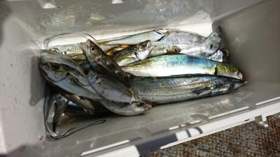 <p>宮田様 沖の北 ルアーでツバス・サゴシ!サビキで中アジも♪今朝は魚の活性が低く微妙な感じだったんですが、それでもこれくらい釣れてます♪群れの回遊にムラがあるのでいつ時合いが始まるかわかりませんよ♪</p>