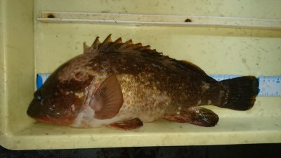 <p>吉村様 沖の北 エビ撒き アコウ40cmGET</p> <p>最近安定してアコウ釣れてますね!おめでとうございます(^O^)</p>
