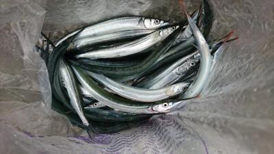 <p>沖の北 オイルフェンス内側でサヨリ大漁!最近釣果の確認がとれていなかっただけでまだ沢山いるみたいです♪全部良型♪</p>