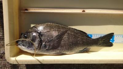 <p>片岡様 沖の北 フカセ チヌGET</p> <p>数は少ないですが、チヌも釣れますね!おめでとうございます(^O^)</p>