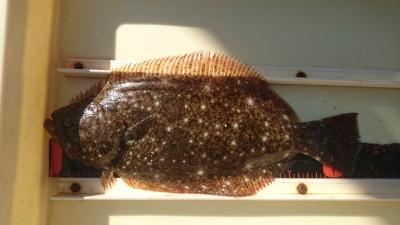 <p>ハネ研 山本様 旧一文字赤灯 エビ撒き ヒラメ33cmGET</p> <p>ヒラメの美味しい季節になってきましたね!ヒラメもシラサエビ食べるんですね(^O^)おめでとうございます</p>