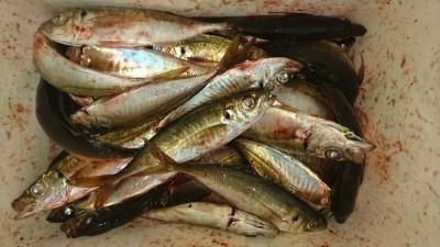 <p>匿名様 沖の北 サビキ 中アジGET</p> <p>サイズも数もダウンしてしまってますねー今年は長い間釣れていたので良しでしょう(^O^)おめでとうございます</p>