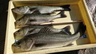 <p>福山様 中波止2番北 エビ撒き釣りで58㎝までのハネ4匹!2ヒロとけっこう浅いたなで釣れたようです。餌とりは多いみたい。</p>