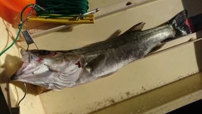 <p>徳永様 旧一文字赤灯 エビ撒き釣りでハネ!セイゴクラスも何匹か釣れたそうです。</p>