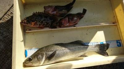 <p>田中様 旧一文字白灯 エビ撒き釣りでハネと良型ガシラ!</p>