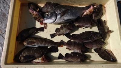 <p>川原様 沖の北 エビ撒きでチヌとメバルGET</p> <p>エビ撒きは良く釣れてますね!おめでとうございます(^O^)</p>