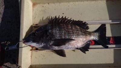 <p>岩田様 沖の北 エビ撒き チヌGET</p> <p>惜しくも本命ならずですが、エビ撒きは色々釣れるので良いですね(^O^)おめでとうございます</p>