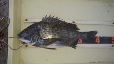 <p>沖の北 フカセ 良型チヌGET!</p><p>チヌも釣れてるようですね。落とし込みでの釣果も確認出来ています。</p>