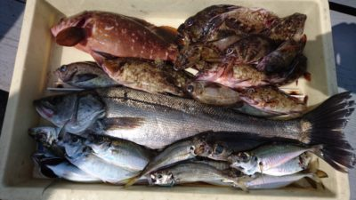 <p>沖の北 エビ撒き ハネ/アコウ/ガシラ/メバル/アジGET</p><p>エビ撒きをすれば色々な魚狙えそうですね!</p>