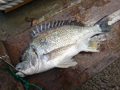 <p>沖の北 エビ撒き釣りでキビレ35.5㎝!</p>