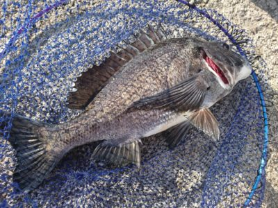 <p>沖の北リアルタイム(6:00) エビ撒き釣りでチヌが釣れていました!これで3枚目とのこと。</p>