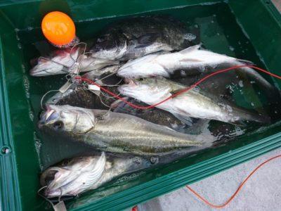 <p>沖の北内向き エビ撒き釣りで44㎝までのチヌ3匹と51㎝までのハネ5匹!大漁です♪</p>