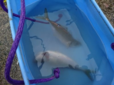 <p>沖の北 サビキで小アジ!今朝は昨日に比べてサバが少なく釣りやすそうでした。小アジは早朝の時合いに。</p>