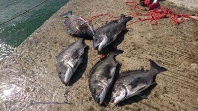 <p>西田様 真田様 沖の北 落とし込み(イガイ)でチヌ5枚!アタリ多いみたいです。サイズも良くなってきましたね。一昨日よりちょっと濁ったので良くなったかな。これからもっと濁りだすと爆釣モードです♪</p>