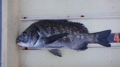 <p>中波止3南 紀州釣り チヌ38cmGET</p><p>紀州釣りでもチヌ釣れてますね!</p>