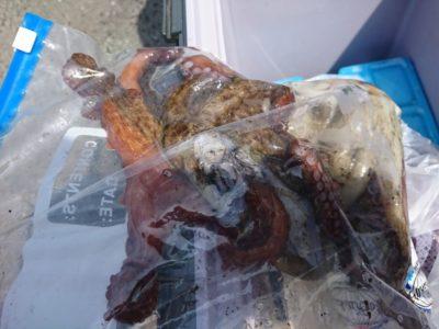 <p>沖の北 タコジグでタコ!タコジグに釣れた小サバをひっかけて釣ったそうです。あたり多いみたいですよ。放置でも釣れるみたい。ん~ありですね。僕もやってみよ♪</p>
