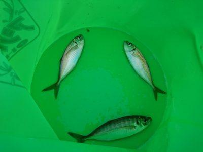 <p>沖の北リアルタイム(6:00) サビキで小アジが釣れていました。足元はサバ、内向きで遠投してる人はポツポツ小アジ。タコは旧沖中ともにポツポツな感じでした。9時満潮なので昼頃からが良さそうです。</p>