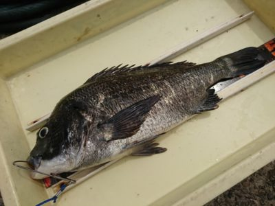 <p>沖の北 落とし込み/イガイ チヌ47.3㎝!朝一はアタリ多かったそうです。濁っていればけっこう釣れますよ♪</p>