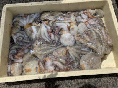 <p>旧一文字 赤灯 タコエギでの釣果です!今日もよく釣れてますね!</p>