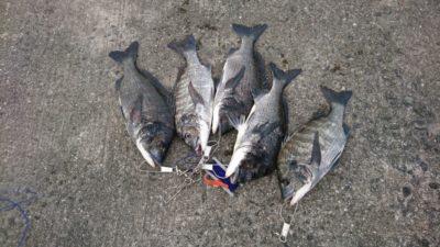 <p>熊取の田中様 沖の北 落とし込み チヌGET</p><p>今日はチヌも良く釣れています(^^♪</p>