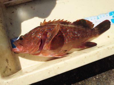 <p>アコウ釣果増えてきてます♪旧一文字赤灯や白灯の外向き、沖の北外向きで30cmオーバーのアコウ釣果増えてますよ♪写真は15日菅原様の釣果で27cm!30cm未満のものもけっこう釣れるようです。今日も3番で20〜30cmが数匹釣れたそうです。日中は釣れないので、朝一か夕方がいいですね。竿下できっちり棚を底にとってください。あとは40cmオーバーがくるのを祈るだけ♪これから秋までずっと狙えますよ。</p>