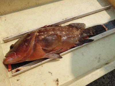 <p>田中様 沖の北 アコウ40cm!エビ撒きでのアコウ狙いだったんですが、餌取りのイワシを泳がせたら一発で食ってきたそうです。ありですね。</p>