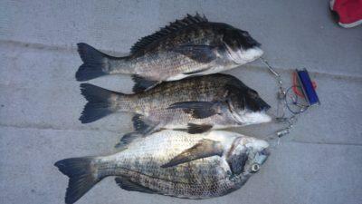 <p>熊取の田中様 沖の北 落とし込み チヌGET</p><p>落とし込みも釣果毎日ありますね(^^♪</p>