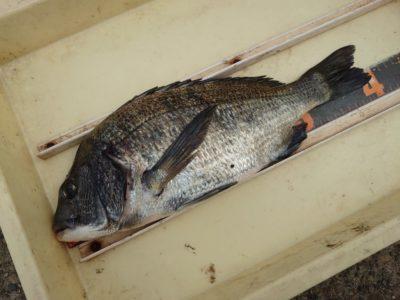 <p>濱本様 沖の北 フカセ釣りでチヌ2枚!苦潮がまだとれていないようで魚の活性は低いみたいです。いい濁りにはなってるんですが…。</p>