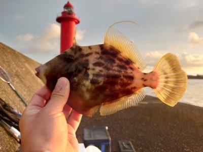 <p>旧一文字赤灯 先端よりの外向き 良型カワハギが釣れていました♪ただ良型だけを狙って釣るのは難しいようで数は釣れない…。どこにいるかわからないので、はじめにけっこう探さないといけないようです。</p>
