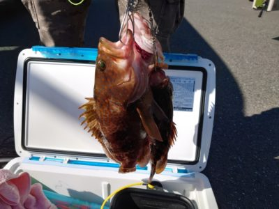<p>梨田様 旧一文字赤灯 エビ撒き釣りでアコウ!赤潮で根魚不調でしたが復活ですね。</p>