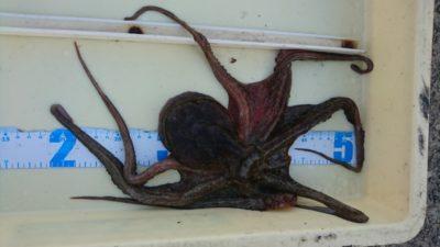 <p>和泉タコ釣り研究会様 旧一文字 タコエギ タコGET</p><p>数は出ませんが、大物の狙える季節です</p>