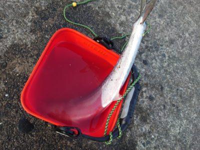 <p>沖の北 ルアーでサゴシ!パターンがはまってこれで4匹目とのことでした。他にハマチも釣れてました。のませ釣りの方にもかかってましたよ♪</p>