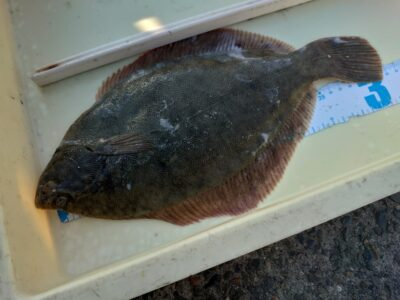 <p>沖の北 投げ釣りでカレイ!他にも小さいのが釣れたみたいです。</p>